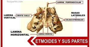 partes del etmoides
