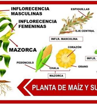 partes de la planta de maiz