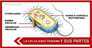 Estructura de una bacteria y sus partes