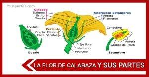 Listado de las partes de la flor de calabaza
