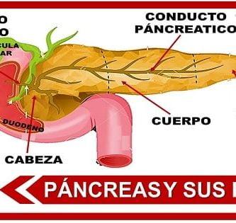 partes del pancreas