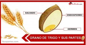 cuales son las partes del grano de trigo