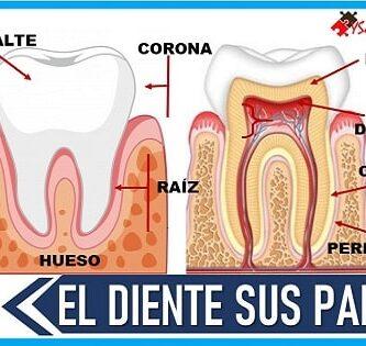 cuales son las partes del diente