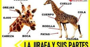 partes de la jirafa