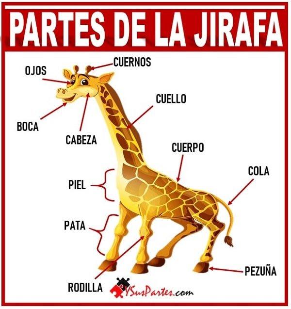 la jirafa y sus partes