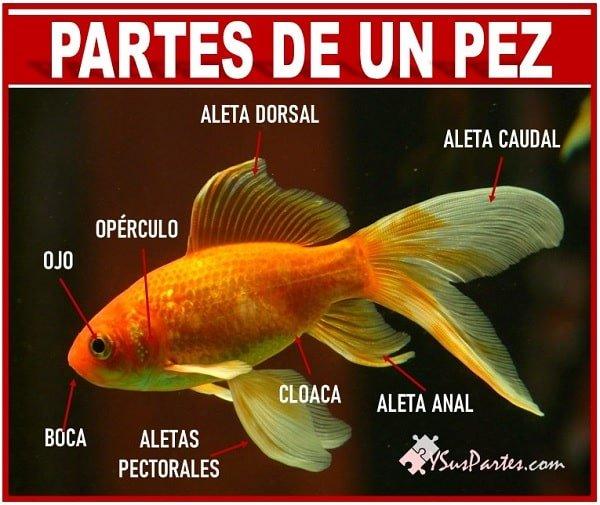 el pez y sus partes