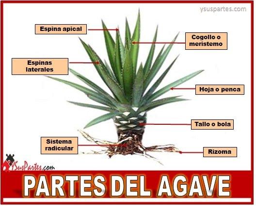 Partes del agave