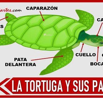 partes de la tortuga